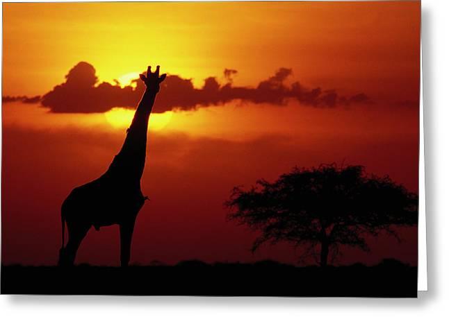 Masai Giraffe Giraffa Camelopardalis Greeting Card by Gerry Ellis