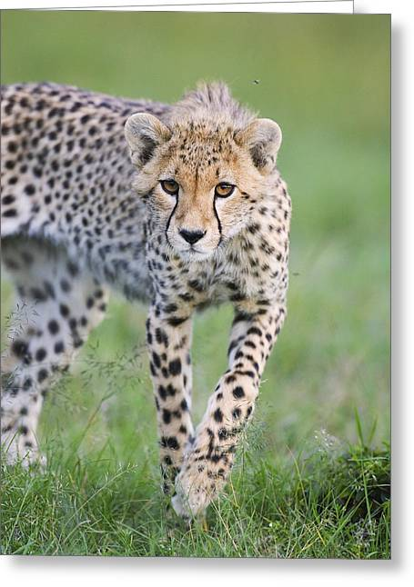 Masai Mara Cheetah Cub Greeting Card by Suzi Eszterhas