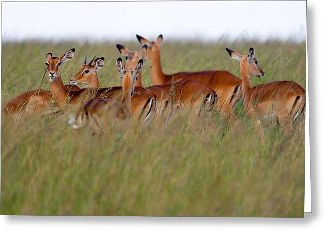 Masai Mara Impalas Greeting Card by Paco Feria