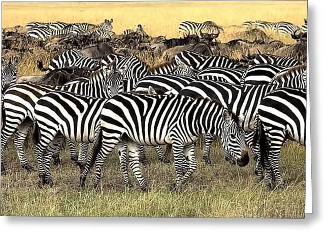 Zebra Grazing Greeting Cards - Masai Mara, Kenya Herd Of Burchells Greeting Card by Chris Upton