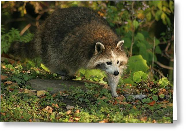 Greeting Card featuring the photograph Maskless Raccoon by Doris Potter
