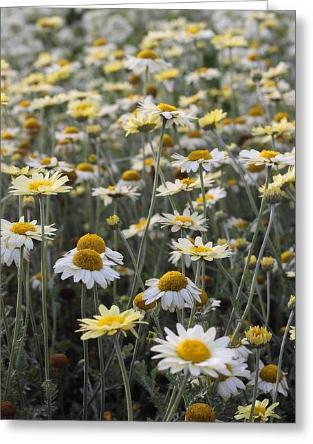 Mass Of Daisies Greeting Card by Denice Breaux