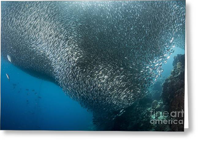 Massive School Of Millions Of Sardines Greeting Card by Mathieu Meur