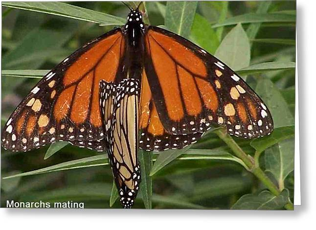 Mating Monarchs Greeting Card by Sandy Collier