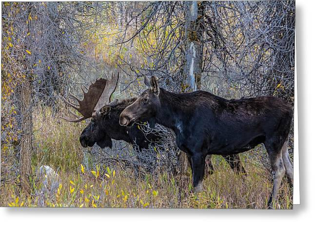 Mating Moose Greeting Card