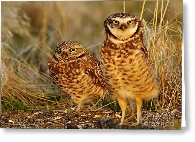 Mating Pair Of Burrowing Owls Greeting Card by Dennis Hammer