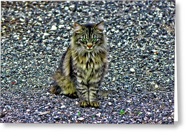 Mattie The Main Coon Cat Greeting Card