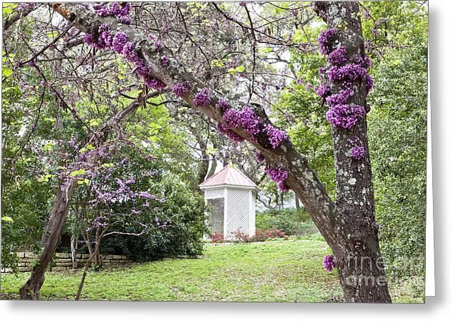 Mature Flowering Texas Redbud Tree Greeting Card by Inga Spence