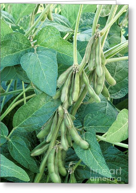 Maturing Gm Soybeans Greeting Card