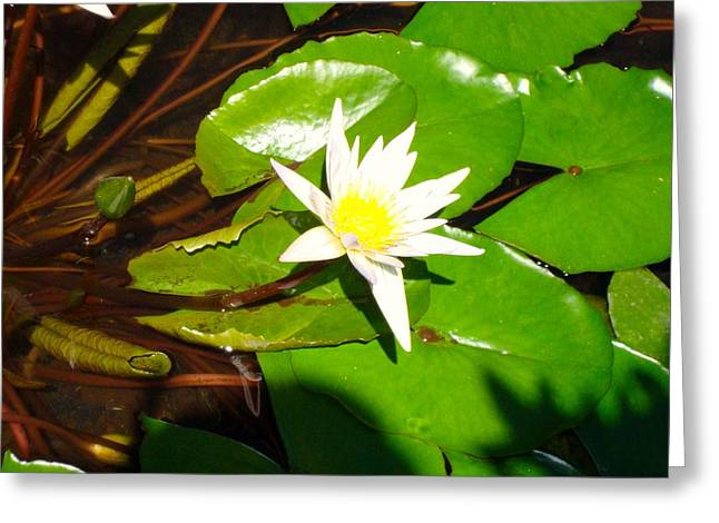 Maui Lily Greeting Card