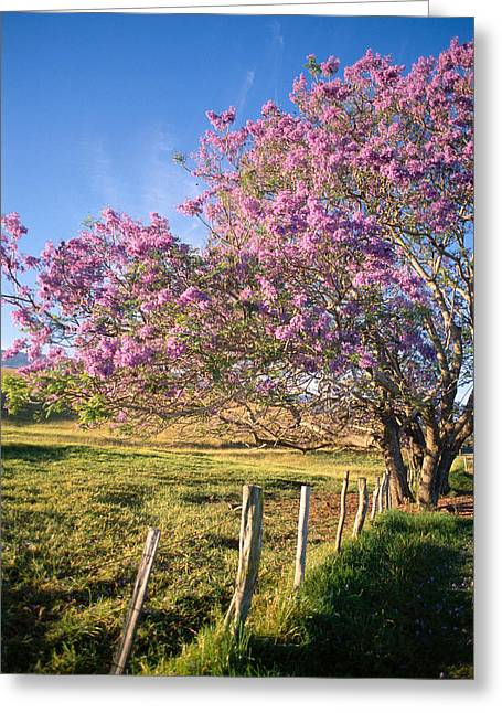 Jacaranda Greeting Cards - Maui Upcountry Greeting Card by Dana Edmunds - Printscapes
