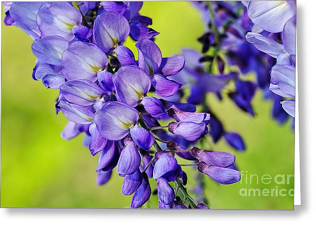 Mauve Wisteria Greeting Card by Kaye Menner