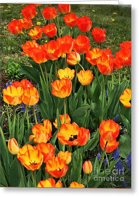 May Tulips Greeting Card