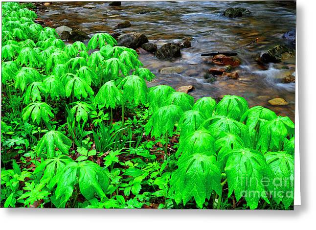 Mayapples And Middle Fork Of Williams River Greeting Card by Thomas R Fletcher