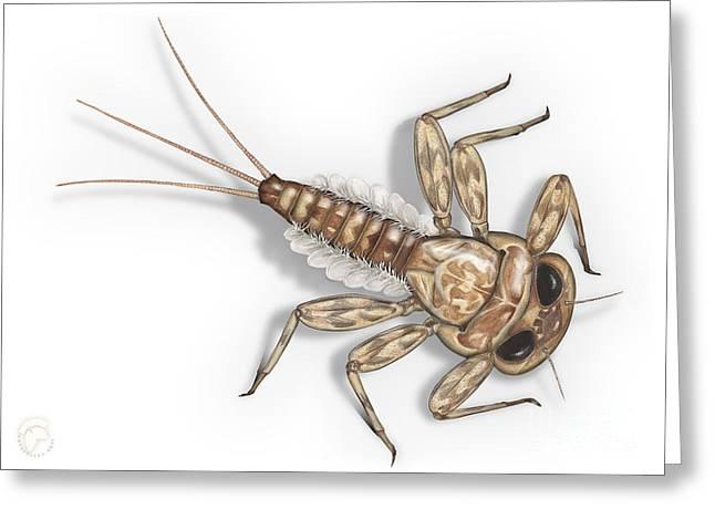 Mayfly Larva Nymph Rithorgena Ecdyonurus Venosus - Moscas De May Greeting Card by Urft Valley Art