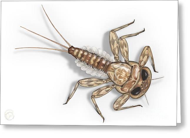 Mayfly Larva Nymph Rithorgena Ecdyonurus Venosus - Moscas De May Greeting Card
