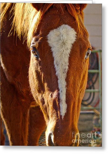 Mccool, Grandson Of Secretariat Greeting Card