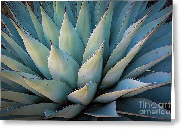 Mckittrick Agave Greeting Card by Inge Johnsson