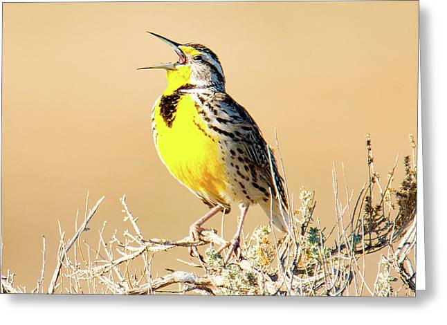 Meadow Lark Greeting Card