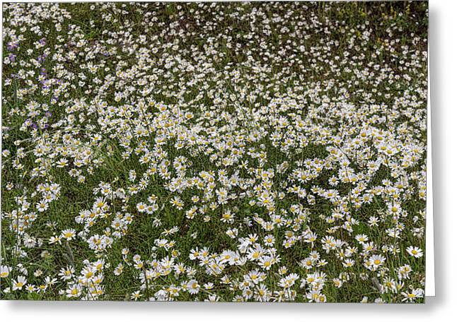 Greeting Card featuring the photograph Meadow Of Daisey Wildflowers Panorama by James BO Insogna