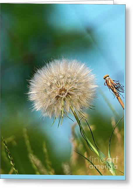 Meadow Salsify Plant In Seed Greeting Card by Les Palenik