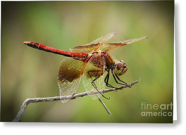 Meadowhawk Dragonfly Greeting Card by Angela Koehler