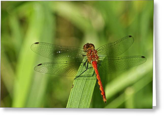 Meadowhawk Greeting Cards - Meadowhawk Dragonfly Greeting Card by Michael Peychich