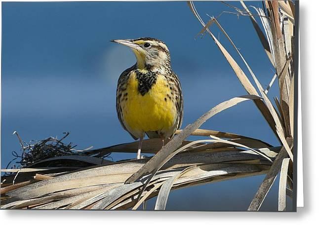 Meadowlark Beauty Greeting Card