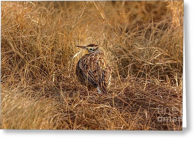 Meadowlark Hiding In Grass Greeting Card