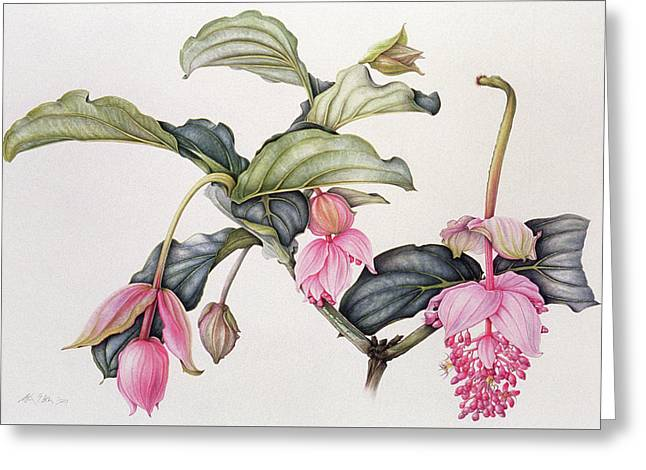 Medinilla Magnifica Greeting Card by Margaret Ann Eden