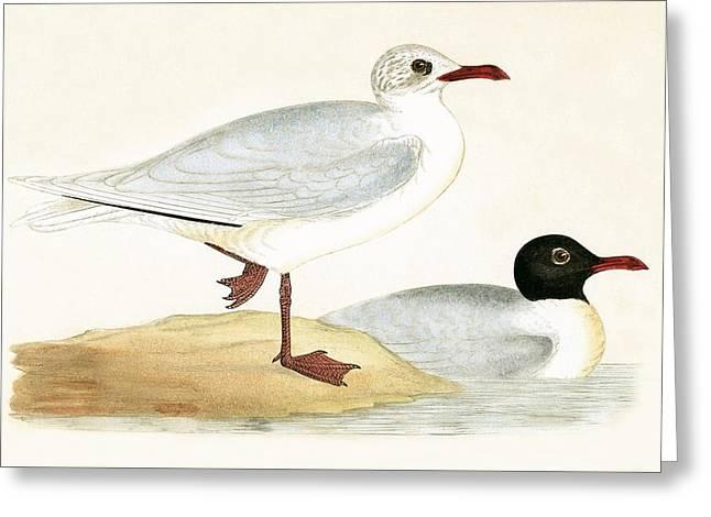 Mediterranean Black Headed Gull Greeting Card by English School