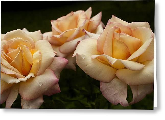 Medley Of Three Yellow Roses Greeting Card