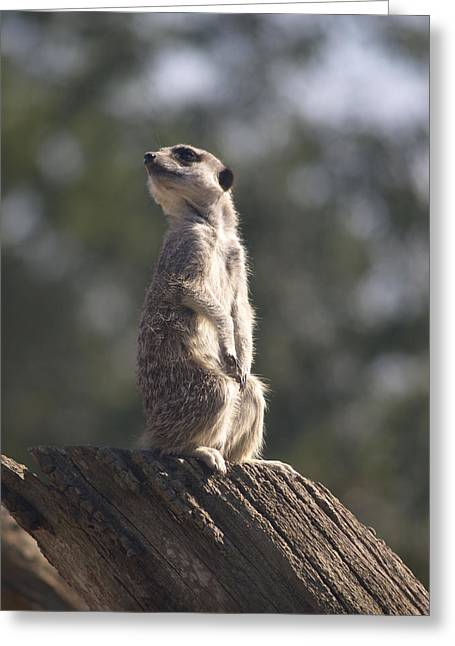 Meercat Greeting Card by Mike Lester