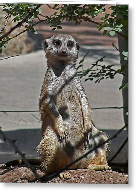 Meerkat 2 Greeting Card by Ernie Echols