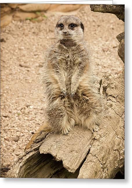 Meerkat Greeting Card by Chris Boulton