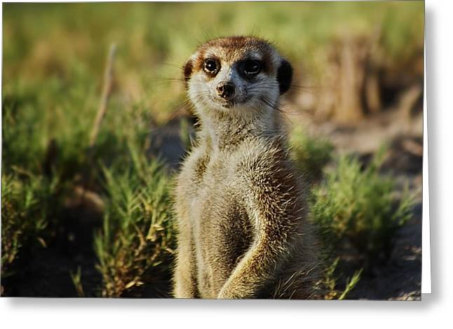 Meerkat Portrait Greeting Card