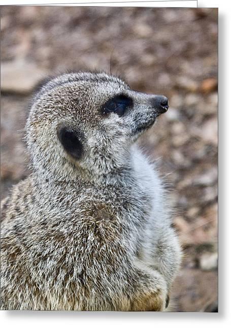 Meerkat Portrait Greeting Card by Douglas Barnett
