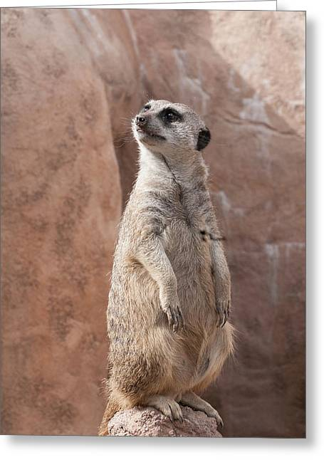 Greeting Card featuring the photograph Meerkat Sentry 1 by Tom Potter