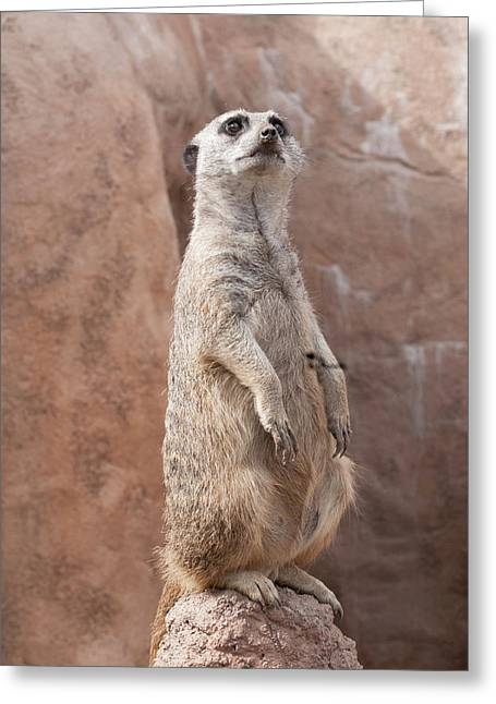 Greeting Card featuring the photograph Meerkat Sentry 2 by Tom Potter