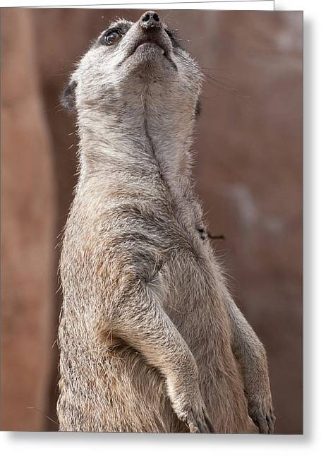 Greeting Card featuring the photograph Meerkat Sentry 4 by Tom Potter
