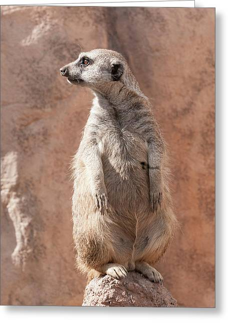 Greeting Card featuring the photograph Meerkat Sentry 5 by Tom Potter