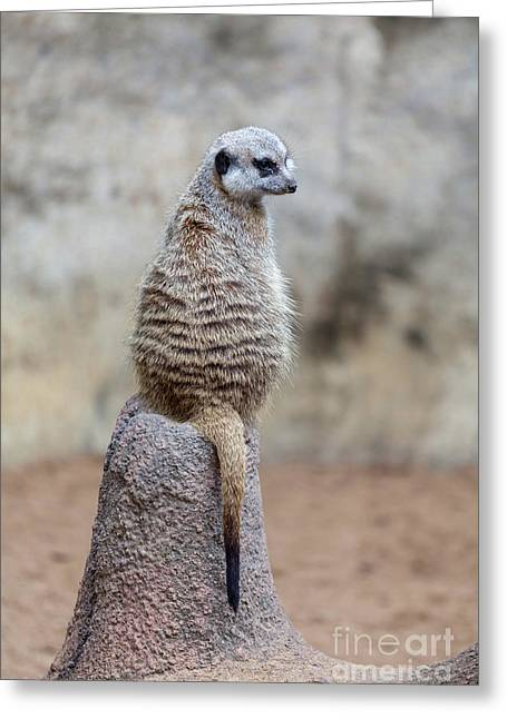 Meerkat Sitting And Looking Right Greeting Card