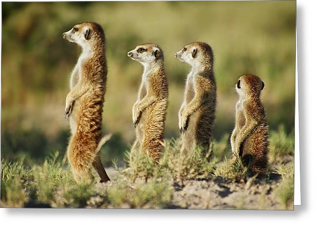 Meerkat Stairsteps Greeting Card
