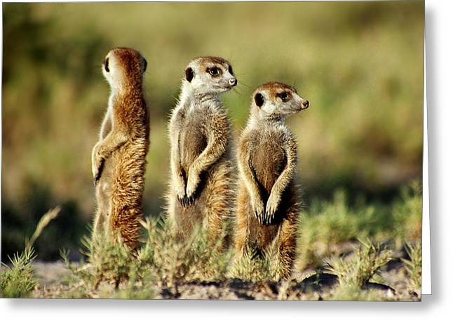 Meerkats Three Greeting Card
