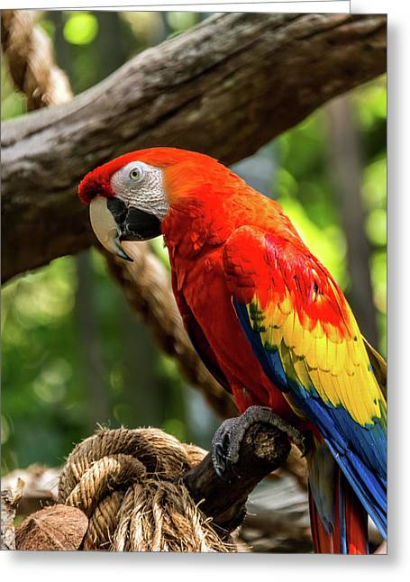 Meet The Macaws Greeting Card by Pamela Williams