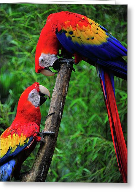 Meeting Of The Macaws  Greeting Card by Harry Spitz