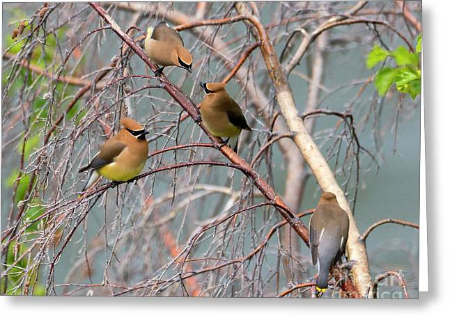 Meeting Of The Waxwings Greeting Card