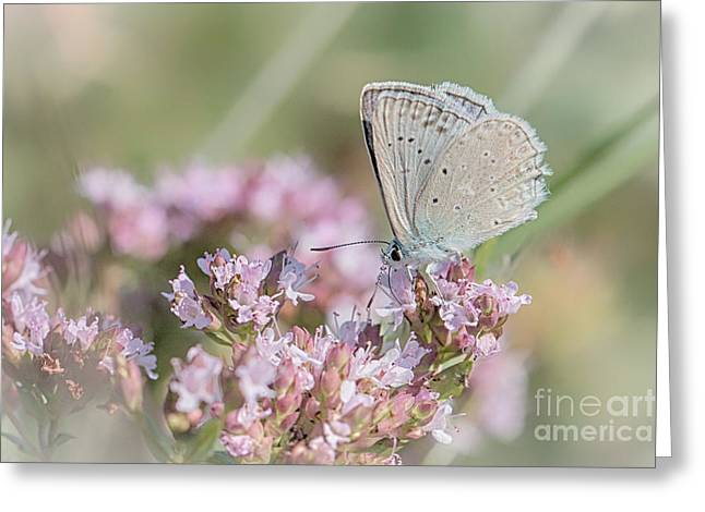 Meleagers Blue Butterfly Greeting Card by Jivko Nakev