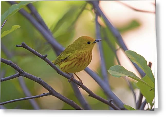 Mellow Yellow - American Warbler - Setophaga Petechia Greeting Card