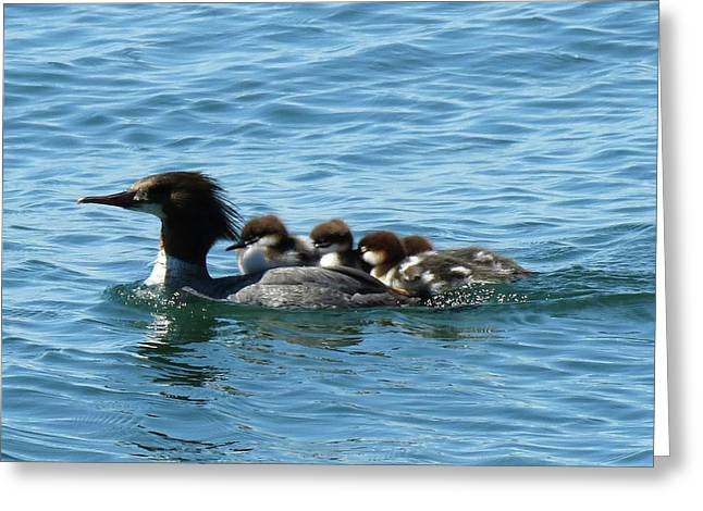 Merganser And Her Chicks Greeting Card